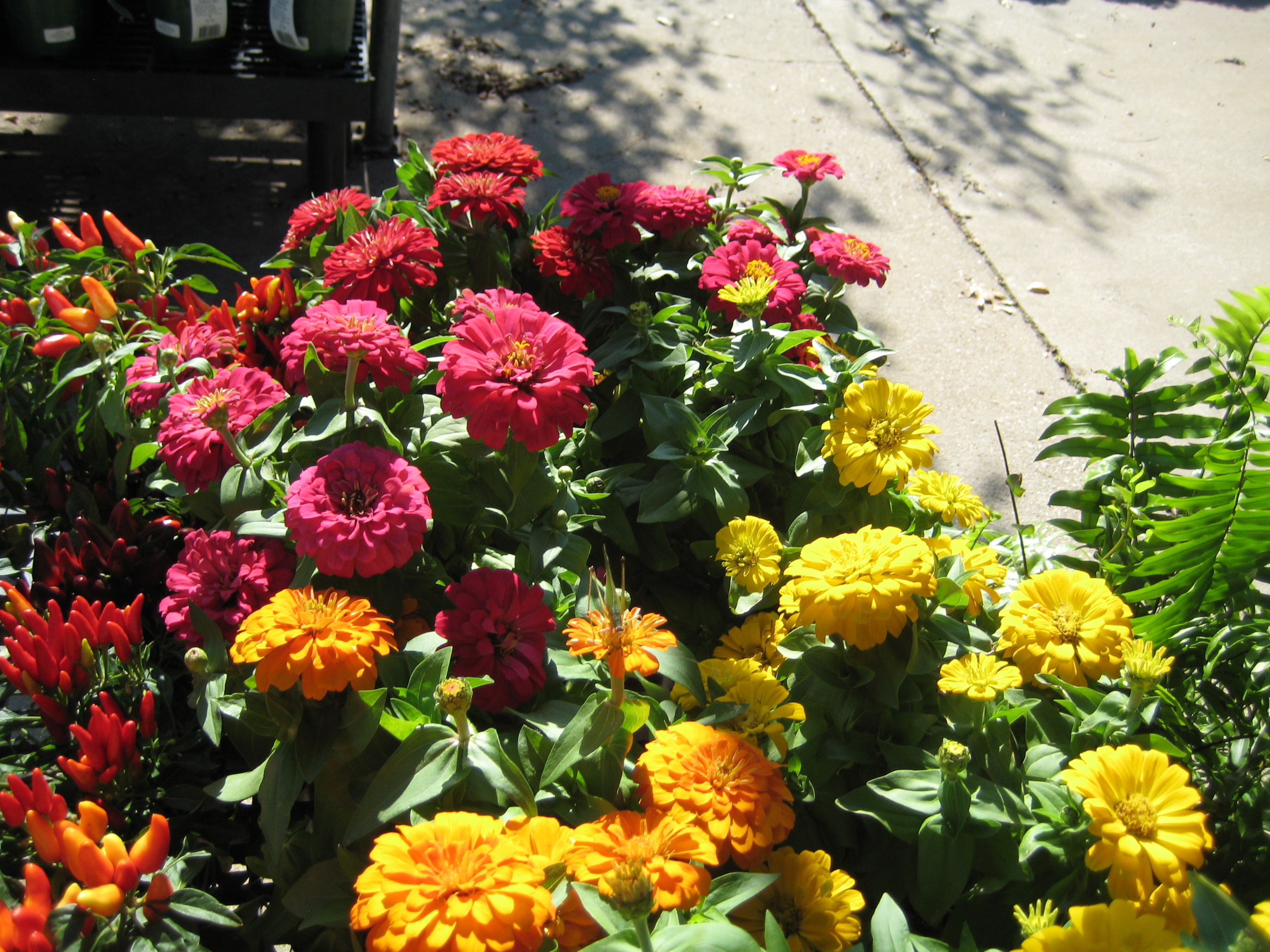 ghost tour and zinnias 044
